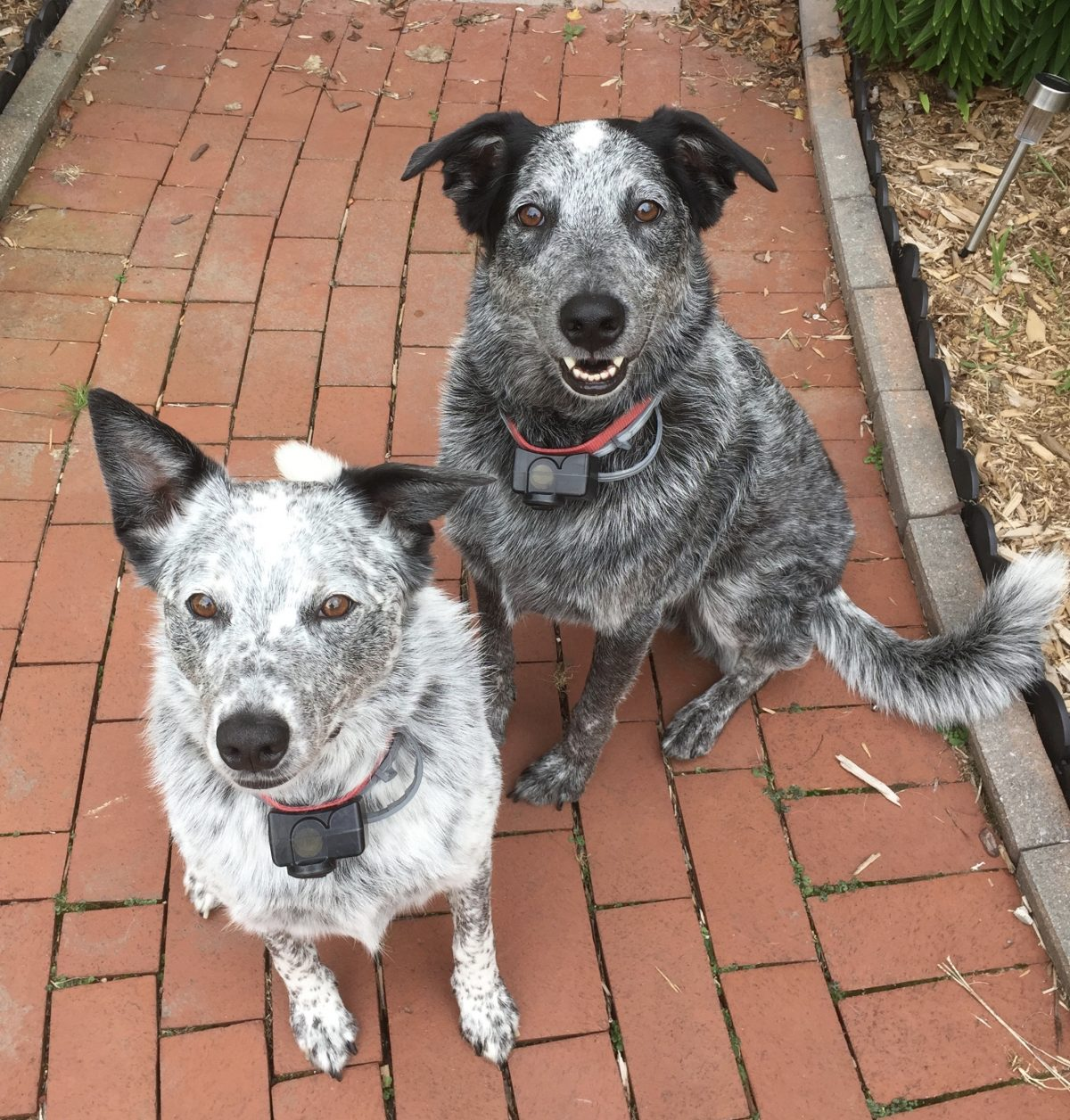 Cattle Dog Kids